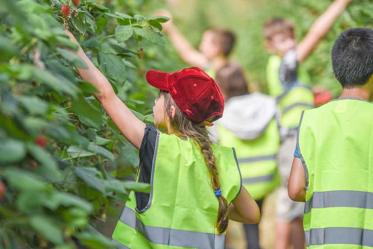 School children picking raspberries on a The Summer Berry Company farm visit