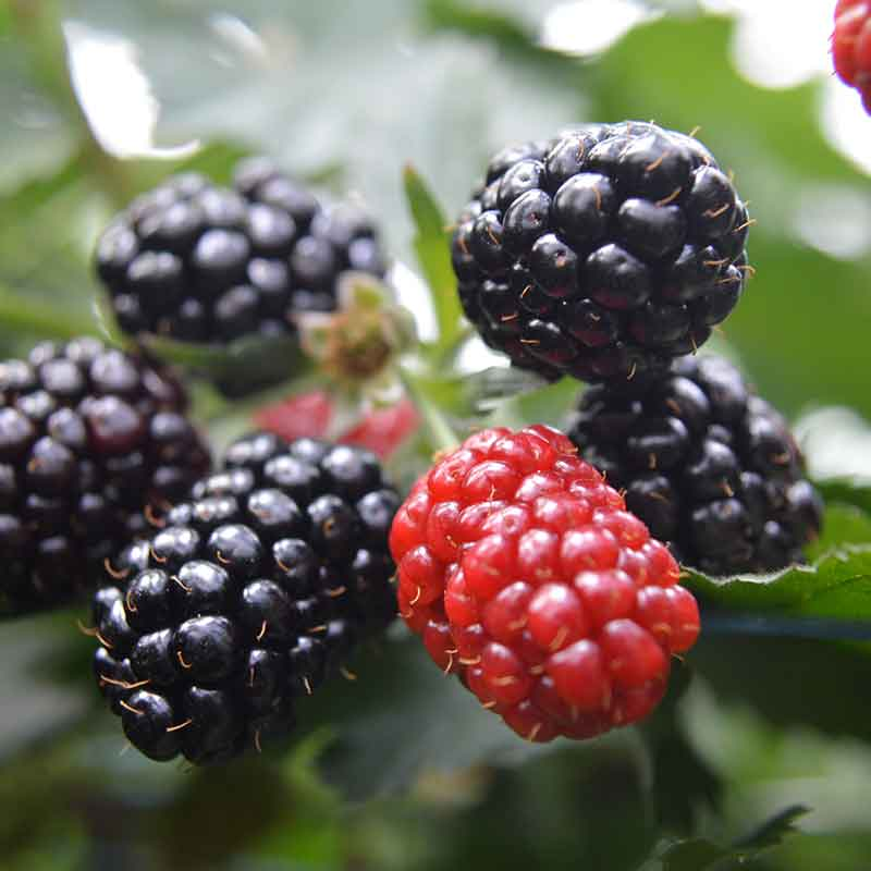 Photograph of a blackberry grown by Hall Hunter