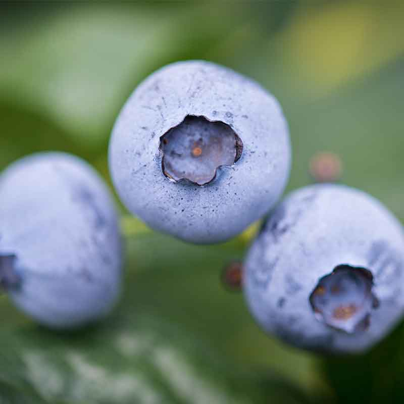 Photograph of a blueberry grown by Hall Hunter