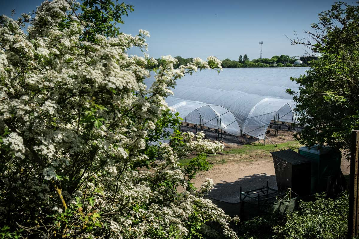 A view through trees and bushes of polytunnels on a Hall Hunter farm