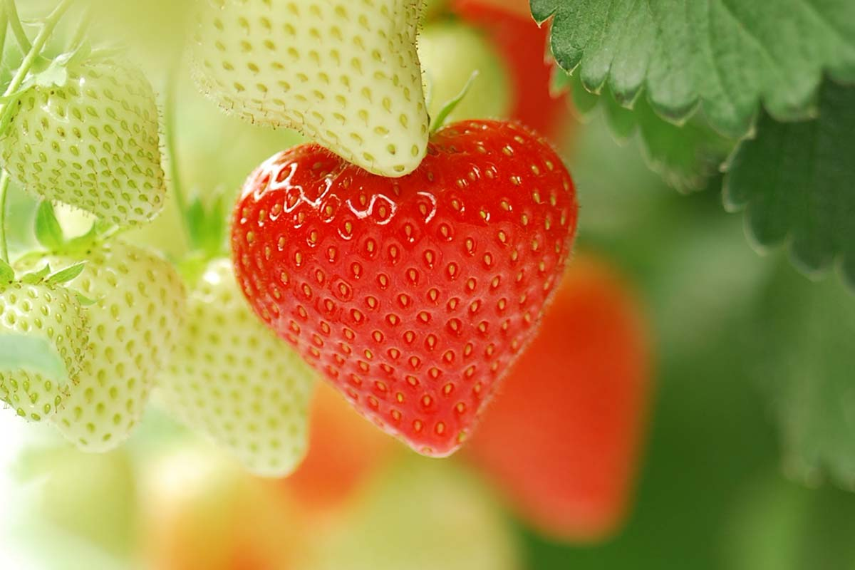 A heart shaped strawberry which representing The Summer Berry Company's passion for what they do